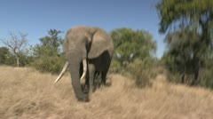 Elephant bull walking Stock Footage