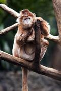 Ebony langur monkey Stock Photos