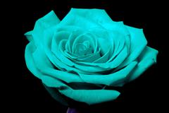 cyan blue rose flower on black - stock photo