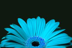 cyan blue daisy gerbera flower - stock photo