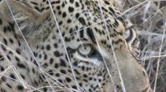 Leopard laying in grass head shop Stock Footage