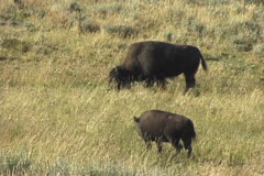 Bison grazing - stock footage
