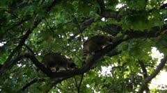 Raccoons in tree Stock Footage