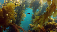 California Kelp Forest Swim Through 01 Stock Footage