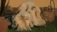 Elephant head skull Stock Footage