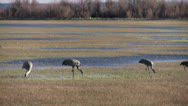 Stock Video Footage of Sandhill Cranes