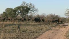 Buffalos walking over road Stock Footage
