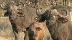 buffalos with calf - stock footage