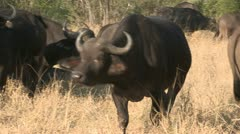 Buffalo from front Stock Footage
