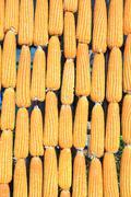 The sun shine upon vertical raw of corn. Stock Photos