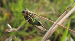 Cicada takeoff from grass. Stock Footage
