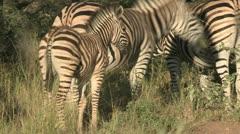Zebras grasing Stock Footage