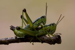 Close up of two grasshopper orthopterous Stock Photos