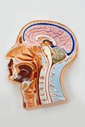 human body model, brain anatomy diagram - stock photo