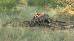 Stock Video Footage of giraffe carcass