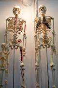 human body model, whole body bone - stock photo