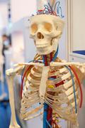 human body model, bones - stock photo