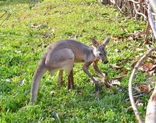 alert grey kangaroo - stock photo