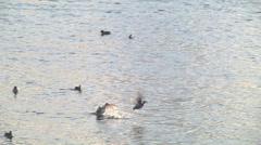 Duck,Fly away,Landing Stock Footage