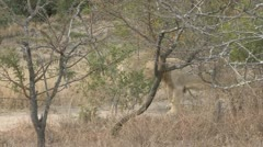 lions walking along the fence - stock footage