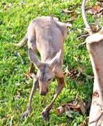 Alert grey kangaroo Stock Photos