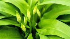 Wild garlic with bloom, allium ursinum Stock Photos