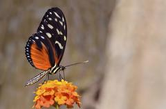 Stock Photo of Tiger Longwing butterfly feeding on flower