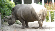 Stock Video Footage of Big rhinoceros