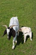 White goat suckling lamb Stock Photos