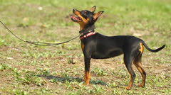 Prague Ratter on the grass Stock Footage