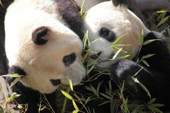 Picture of two beautiful pandas eating bamboo Stock Photos