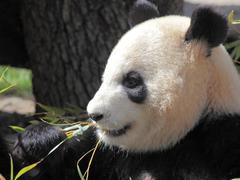 Picture of a beautiful panda eating bamboo Stock Photos