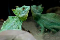 picture of a beautiful reptile, a basiliscus - stock photo