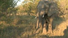 Elephant right very close to safari Vehicle Stock Footage