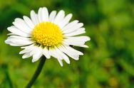 Stock Photo of white daisy