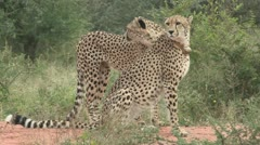 Two cheetah's one has a coller full body shot Stock Footage