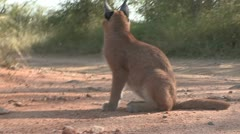 Young Caracal Stock Footage