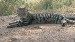 wildcat in grass - stock footage