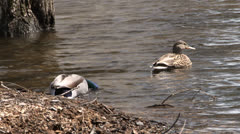 Male And Female Mallard Duck Couple Swimming In Pond Stock Footage