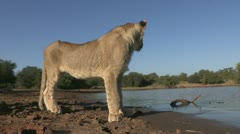 Young lion at waterhole hit camara with paw Stock Footage