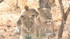Lions sit on grass Stock Footage