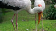 Painted Stork (Mycteria leucocephala) Stock Footage
