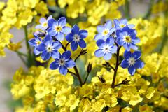 Forget-me-not and basket of gold Stock Photos