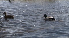 Male And Female Mallard Ducks Swimming In Pond Stock Footage