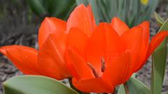 Spring flowers Stock Footage