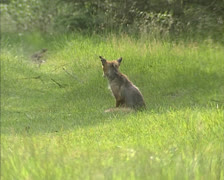 Red fox (vulpes vulpes) sits in field at forest edge overlooking hunting ground Stock Footage