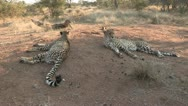 Stock Video Footage of cheetah's laying on ant hill