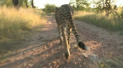 cheetah walk infront of camera - stock footage