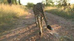 Cheetah walk infront of camera Stock Footage