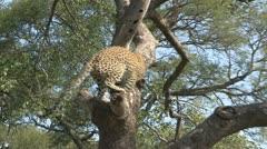 leopard in marula tree - stock footage